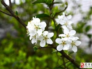 春月梨花开