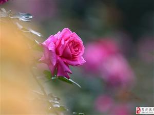 拍摄细腻质感的月季花