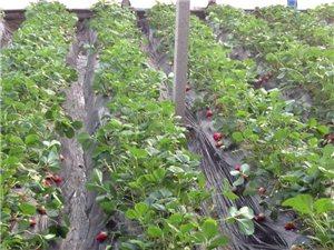 秒速飞艇樱桃草莓采摘园