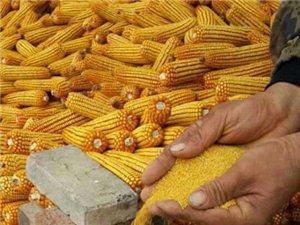 纯正沁州黄小米