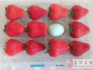 电脑下注网站:一家草莓园长出鸡蛋大小的草莓