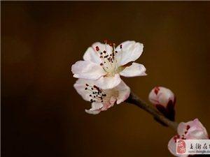春风吹的桃花开