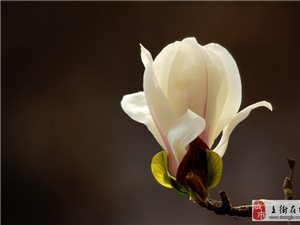 阳春三月 玉兰花开