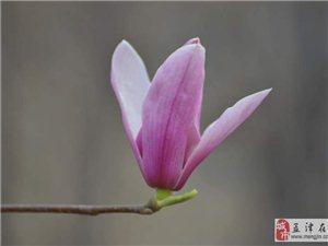 公园花开————玉兰花