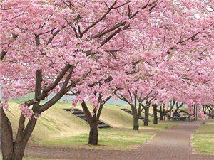 广安亚博app官网,亚博竞彩下载县菊花村樱花节将于23日盛大开幕(图)