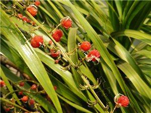 龙血树果实