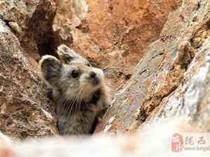 伊犁鼠兔时隔20年再次现身中国 比大熊猫还稀有