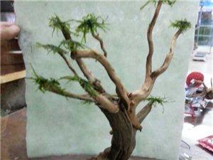 水草缸中的参天大树