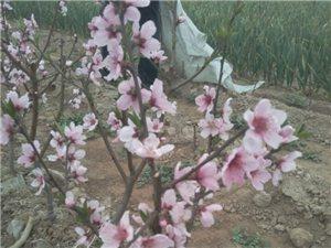 桃之夭夭,灼灼其华――残疾人艰苦创业,喜迎盆栽晚熟桃开花