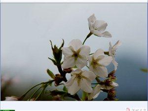 乌阴桥的樱花