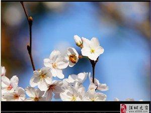 也说乌阴桥樱花