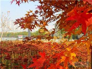 人民公园枫叶正红时