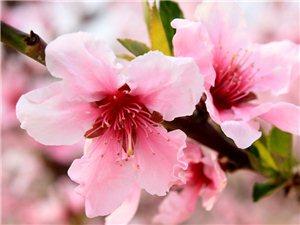 坨南第五届桃花节