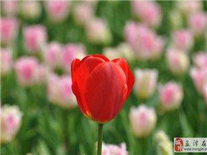 郁金香花园