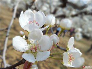 梨花桃花近拍