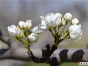 静心等待梨花节(4月17日)尽情享受梨花颂