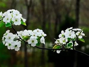 全球最长梨花景观带就在辽宁,颜值爆表!第25北镇梨花节旅游攻略