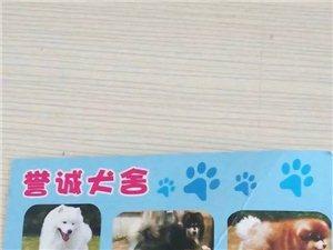 誉诚犬舍、出售巨型阿拉斯加、金毛、泰迪、比熊、萨摩耶。