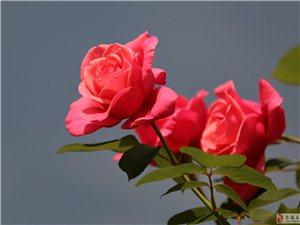 娇艳玫瑰,多情月季,喜欢的朋友快来摘啊-存储摄影