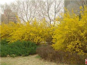 市府广场上的桃花、迎春花、玉兰花竞相绽放