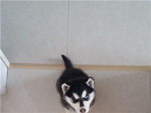 同江 55天纯种母哈士奇幼犬 因家里无人照看 给它找主人