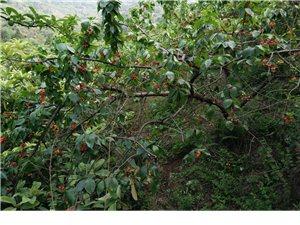 成都这个地方大片大片的樱桃无人看管, 随便摘免费吃,纯天然无污染