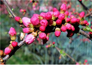 傲雪与盛开――――复瓣榆叶梅开花写真