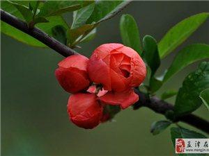 海棠花——国际牡丹园