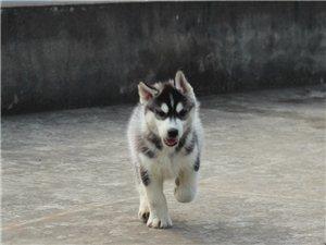 哈士奇幼犬,赛级纯血统,双蓝眼三把火品相佳,保健康