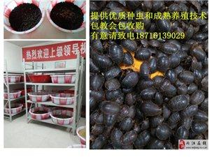 小土元,大财富――泸州土元养殖广招养殖户