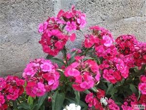 晒晒这种很漂亮的小花