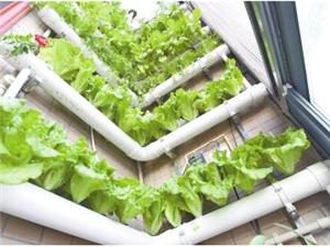 郑州一六旬药剂师打造阳台花园箱养仙草墙上种菜