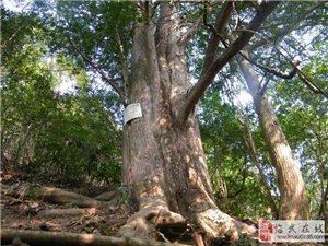 郴州澳门网上投注官网县古树名木保护工作调查