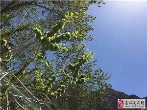 号外!号外!万博manbetx客户端苹果黑山发现传说中的榆树沟!!!