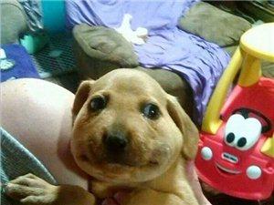 不小心,被蜂蜇了,好难看呀,狗狗们蠢萌表情惹人怜~~