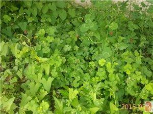 啊哈!新鲜的草莓,独立长成。无毛钱一斤!快来买,先到先得!!!!