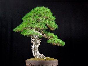 中国的盆景艺术