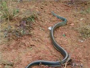 想吃蛇肉不?
