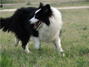 金昌盛犬舍 出售 边境牧羊犬 小狗