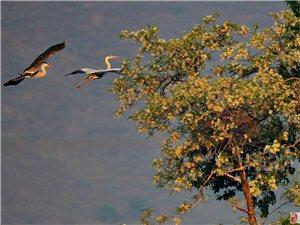 槐树下的苍鹭