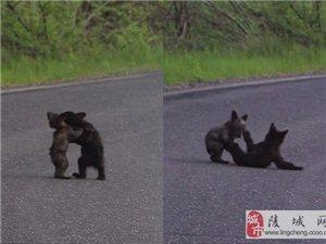 两只熊崽公路上掐架,憨态可掬~~