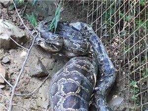丰顺惊现巨大蟒蛇!体型如大腿般粗……(胆小慎入!)
