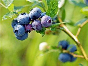 �{莓熟了
