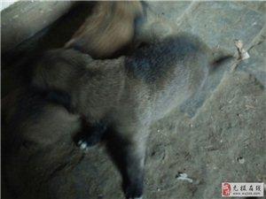 出售��出生的�R犬,�系��13932117185