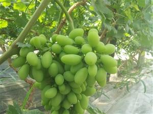 高密葡萄采摘