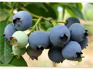 麻江�{莓����的成�L�^程