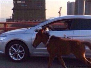 厦门现女子在大桥上开车遛马 被拘留5天