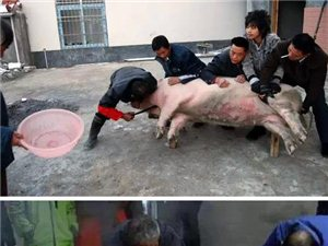 蓬溪农村杀过年猪精彩对话!肚皮都笑痛咯!
