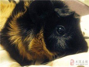 家有宝贝荷兰猪,求有爱心的人领养