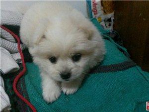 寻狗!!在石碑山路福生宾馆丢了一只白色的狗狗!!!